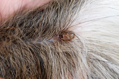 Big Ticks on a dog. Big Ticks on a dog in cleaning stock photography
