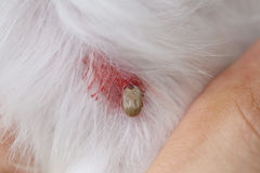 Big Ticks on a dog. Royalty Free Stock Images