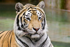 Big Tiger on a blurred background. Big striped tiger sitting down against a blurred background Stock Images