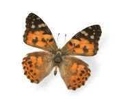 Big tiger butterfly isolated on white Stock Images