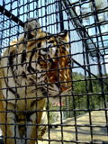 Big tiger in a cage close up Royalty Free Stock Photography