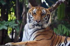 The big tiger is in Dusit Zoo. Looks awesome and looks cute at the same time Royalty Free Stock Photography