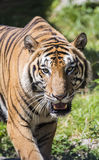 Big tiger Royalty Free Stock Image