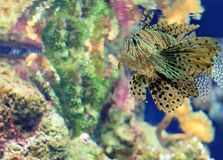Big tiger grouper under sea water Stock Image