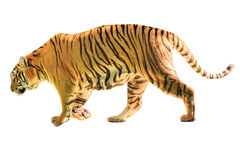 Big Tiger isolated Stock Images