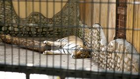Big tiger resting in the zoo. Slow motion footage stock video