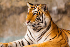 Big Tiger sitting Stock Photo