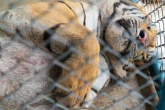 A big tiger sleeping. royalty free stock images