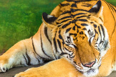 Big tiger sleeping Stock Image