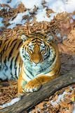 Big tiger in the snow, the beautiful, wild, striped cat, in open Woods, looking directly at us. Snowy winter in the taiga royalty free stock images