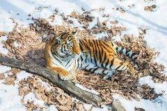 Big tiger in the snow, the beautiful, wild, striped cat, in open Woods, looking directly at us. Snowy winter in the taiga royalty free stock image
