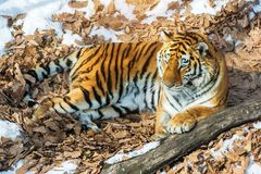 Big tiger in the snow, the beautiful, wild, striped cat, in open Woods, looking directly at us. stock photography