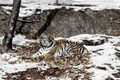 Big tiger in the snow, the beautiful, wild, striped cat, in open Woods, looking directly at us. Snowy winter in the taiga stock image