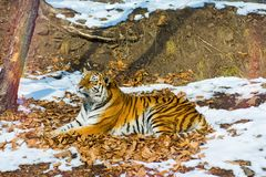 Big tiger in the snow, the beautiful, wild, striped cat, in open Woods, looking directly at us. royalty free stock images