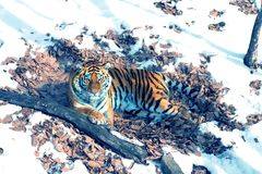 Big tiger in the snow, the beautiful, wild, striped cat, in open Woods, looking directly at us. royalty free stock photography