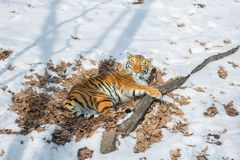 Big tiger in the snow, the beautiful, wild, striped cat, in open Woods, looking directly at us. Snowy winter in the taiga royalty free stock photography