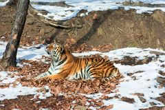 Big tiger in the snow, the beautiful, wild, striped cat, in open Woods, looking directly at us. Snowy winter in the taiga stock photos