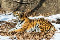 Big tiger in the snow, the beautiful, wild, striped cat, in open Woods, looking directly at us. stock photo
