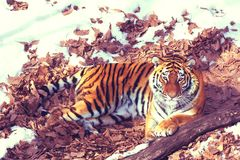 Big tiger in the snow, the beautiful, wild, striped cat, in open Woods, looking directly at us. stock images