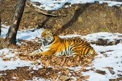 Big tiger in the snow, the beautiful, wild, striped cat, in open Woods, looking directly at us. stock image
