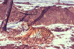 Big tiger in the snow, the beautiful, wild, striped cat, in open Woods, looking directly at us. stock photos