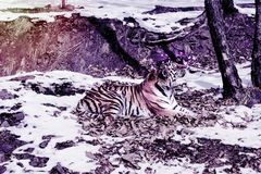 Big tiger in the snow, the beautiful, wild, striped cat, in open Woods, looking directly at us. royalty free stock photos