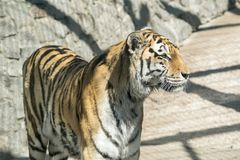 Big tiger stand and looks aside Royalty Free Stock Image