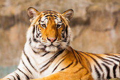 Big Tiger staring Royalty Free Stock Image