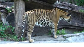 Tiger stop walking and looking in the zoo. Big tiger stop walking and looking in the zoo stock footage