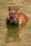 Big tiger swims in the lake on a hot day, Thailand Royalty Free Stock Images