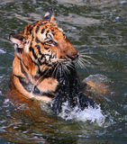 Big tiger swims in the lake on a hot day, Thailand Royalty Free Stock Image