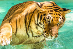 Big Tiger in water Stock Photo