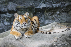 Big tiger in the zoo Royalty Free Stock Photography