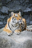 Big tiger in the zoo Royalty Free Stock Images
