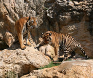 Big tigers on the rock, Thailand Royalty Free Stock Photo