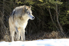 Big timber wolf Royalty Free Stock Photography