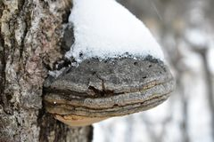 The big tinder fungus on a tree in the snow and icy crust stock image