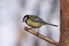 Big tit bird sits on tree branch in the forest. Big tit bird sits on tree branch in winter forest Stock Image