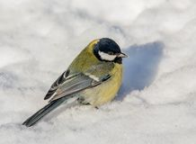 Big Tit in the snow Stock Photography
