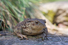 Big toad Royalty Free Stock Images