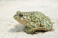 Big toad Royalty Free Stock Photos