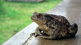 Big Toad on the background of a green garden in summer stock images