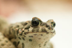 Big toad (Bufonidae) Royalty Free Stock Photo