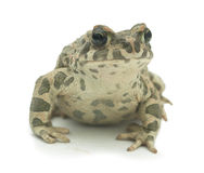 Big toad (Bufonidae) Stock Photo