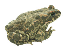 Big toad (Bufonidae) isolated Stock Photography
