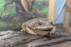 The big toad sits Royalty Free Stock Photography