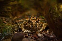 Big toad Stock Photos