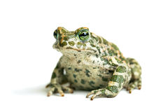 Big toad Stock Photo