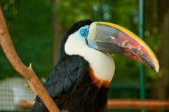 The toco toucan Ramphastos toco. The big toco toucan Ramphastos toco with damaged beak stock image