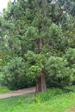 Big toe Sequoiadendron giganteum Lindl. J. Buchholz grows in the park.  royalty free stock images